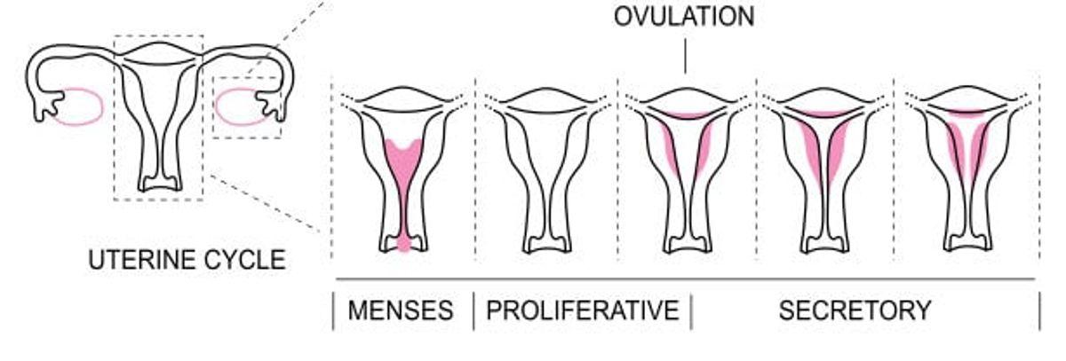 MenstrualCycle2_en